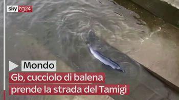 Gb, balena prende la strada del Tamigi