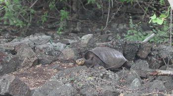 Galapagos, ritorna tartaruga creduta estinta da 112 anni