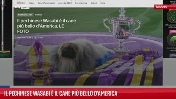 Il pechinese Wasabi � il cane pi� bello d?America