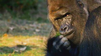 italia campione chiellini gorilla