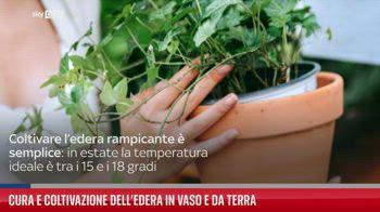 Cura e coltivazione dell?edera in vaso a da terra