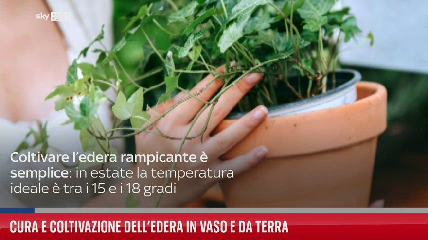 Cura e coltivazione dell'edera in vaso a da terra